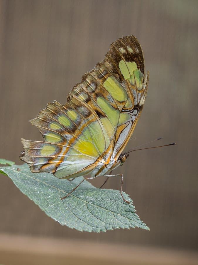 Μαλαχίτης πεταλούδα σε φύλλο στοκ εικόνα με δικαίωμα ελεύθερης χρήσης