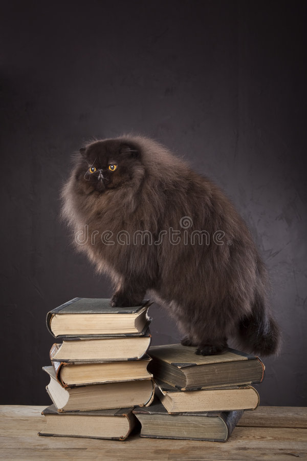 μαλλιαρός μακρύς γατών στοκ εικόνα