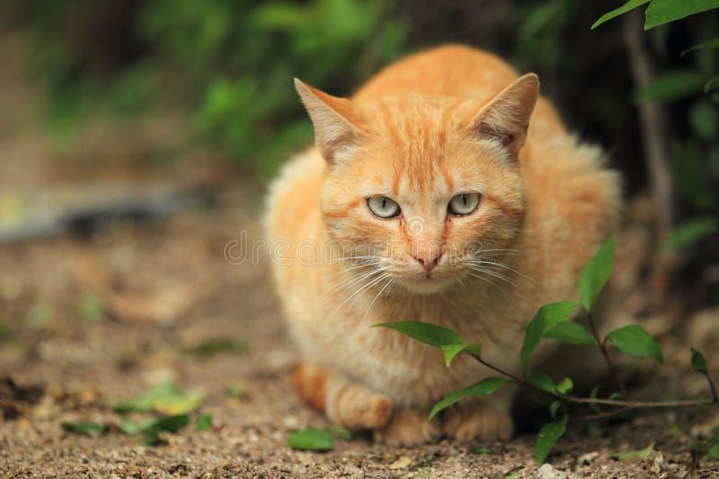 μαλλιαρό κόκκινο γατών στοκ εικόνες