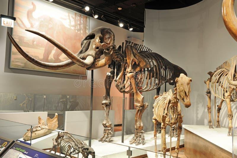 Μαμμούθ σκελετός στο μουσείο τομέων στο Σικάγο στοκ φωτογραφία