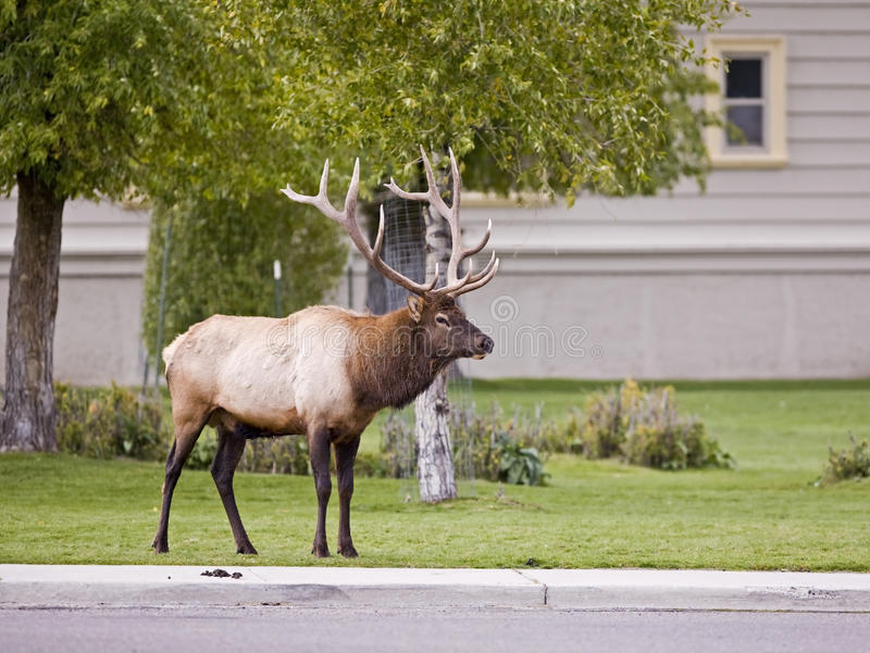 Download μαμμούθ Yellowstone πάρκων αλκών ταύρ&omega Στοκ Εικόνες - εικόνα από αειθαλής, βιότοπος: 13176042