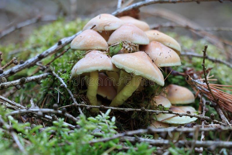 Μανιτάρι - πράσινος-βγαλμένο φύλλα θείο επικεφαλής HYPHOLOMA FASCICULARE στοκ εικόνα με δικαίωμα ελεύθερης χρήσης