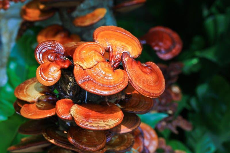 Μανιτάρι lucidum Ganoderma στοκ εικόνες