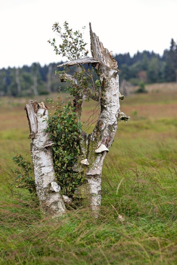 Μανιτάρι Polypore, υψηλοί βάλτοι δέντρων θανάτου μυκήτων στοκ εικόνα με δικαίωμα ελεύθερης χρήσης