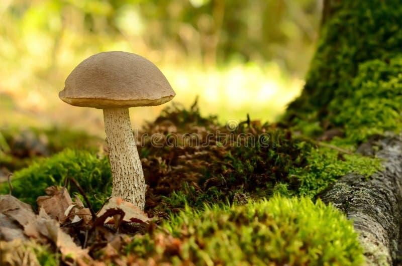 Μανιτάρι scabrum Leccinum στοκ φωτογραφίες με δικαίωμα ελεύθερης χρήσης
