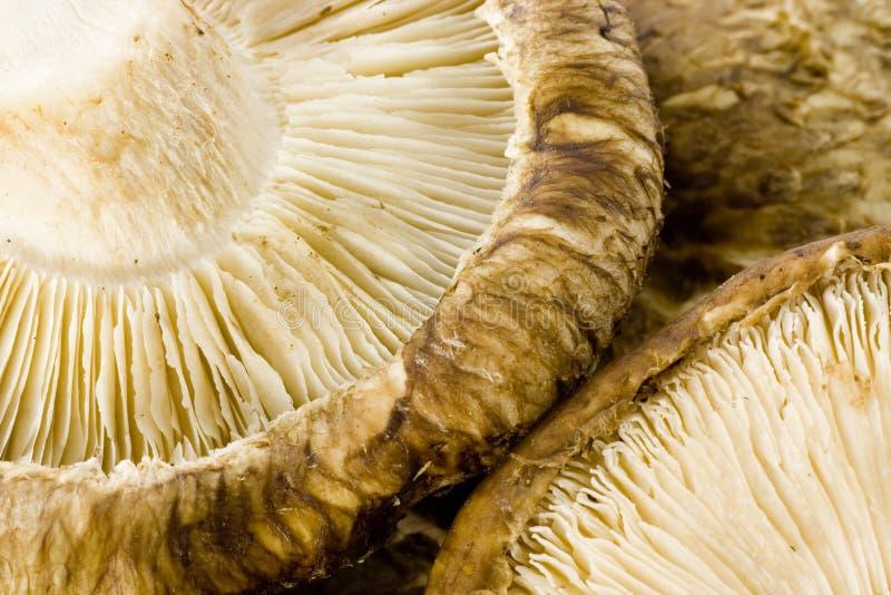 μανιτάρι shiitake στοκ φωτογραφία με δικαίωμα ελεύθερης χρήσης