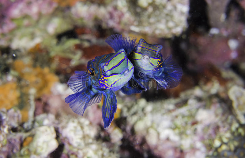 μανταρίνι ψαριών στοκ εικόνα με δικαίωμα ελεύθερης χρήσης