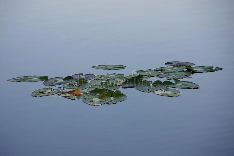 Μαξιλάρια κρίνων ακόμα στο νερό, εθνικό πάρκο Everglades στοκ εικόνες