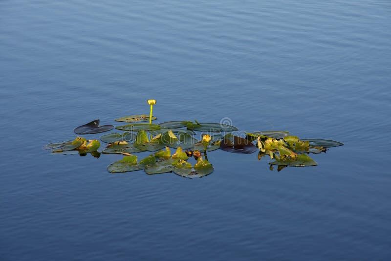 Μαξιλάρια κρίνων ακόμα στο νερό, εθνικό πάρκο Everglades στοκ φωτογραφία με δικαίωμα ελεύθερης χρήσης