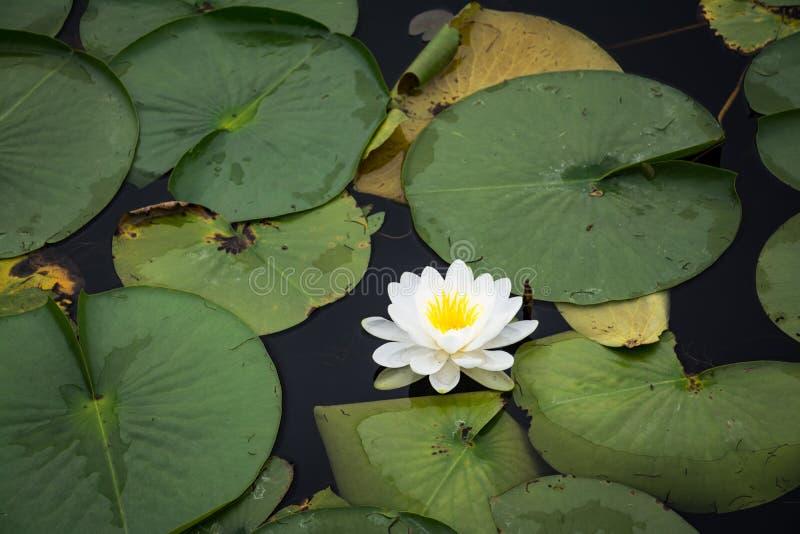 Μαξιλάρι κρίνων που περιβάλλεται από την πράσινη βλάστηση στοκ φωτογραφία με δικαίωμα ελεύθερης χρήσης