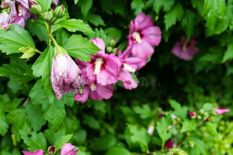 Μαραμένη ρόδινη ένωση λουλουδιών από το δέντρο στοκ φωτογραφία με δικαίωμα ελεύθερης χρήσης
