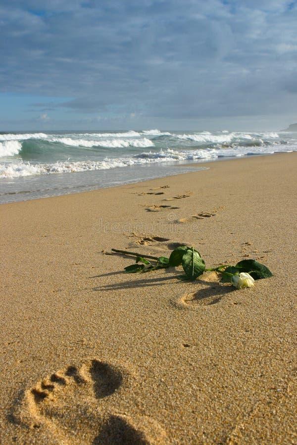 Μαραμένος άσπρος αυξήθηκε στην κενή παραλία στοκ φωτογραφίες