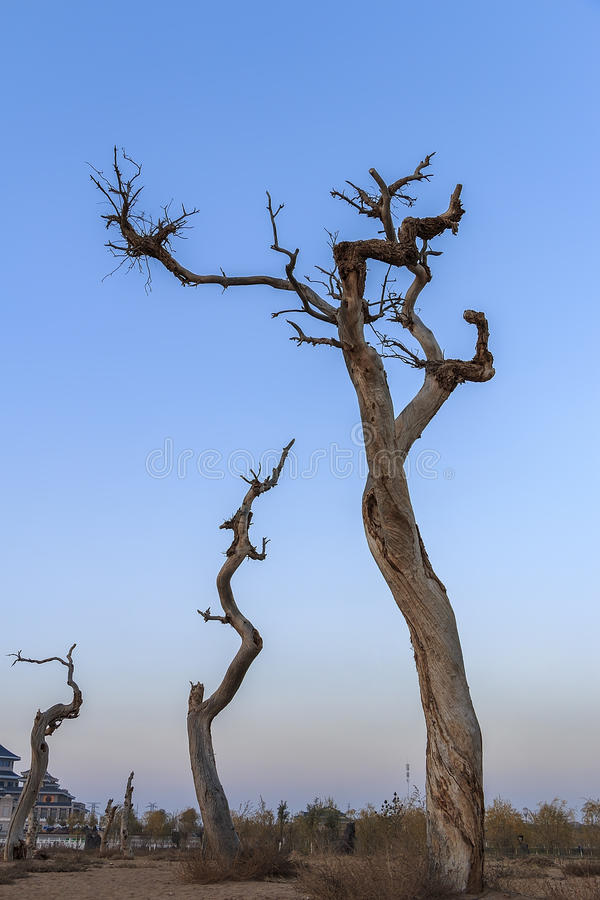 Μαραμένο euphratica δέντρο Populus στοκ εικόνες
