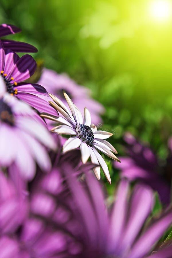 Μαργαρίτα κήπων στοκ φωτογραφία