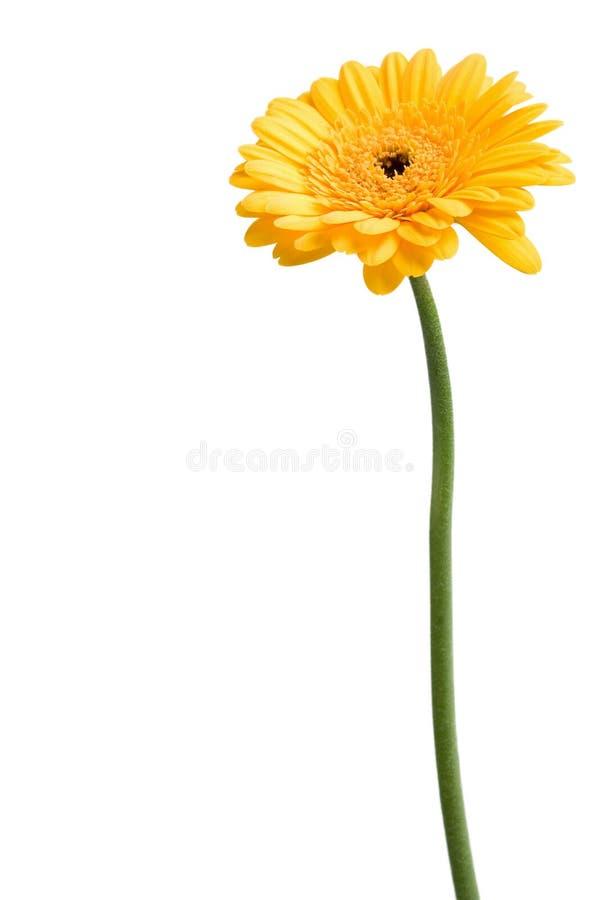 μαργαρίτα κίτρινη στοκ φωτογραφίες με δικαίωμα ελεύθερης χρήσης