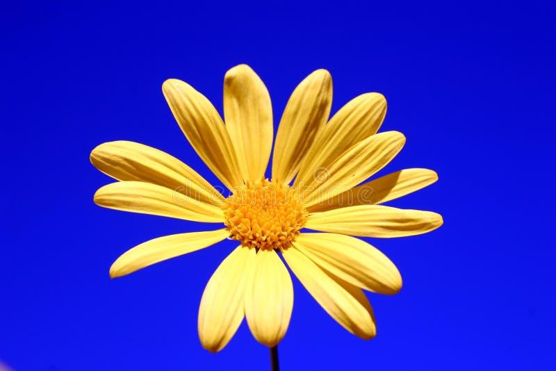 μαργαρίτα κίτρινη στοκ φωτογραφίες