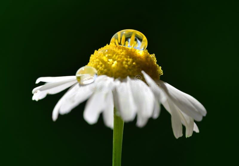 Μαργαρίτα λουλουδιού με πρωινή δροσιά που πέφτει σε σκοτεινό φόντο Άνοιξη στοκ φωτογραφίες με δικαίωμα ελεύθερης χρήσης