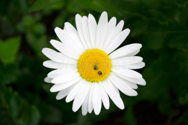 Μαργαρίτα λουλουδιών με τις μέλισσες στοκ φωτογραφία