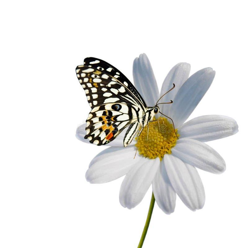 μαργαρίτα πεταλούδων στοκ φωτογραφίες