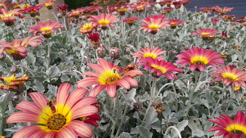 Μαργαρίτες στο κρεβάτι λουλουδιών στοκ εικόνες