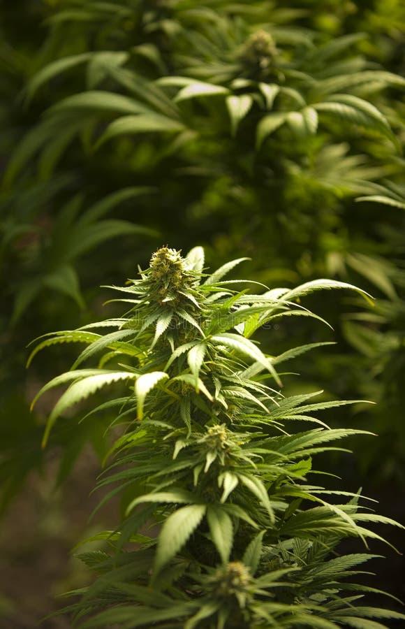 μαριχουάνα ιατρική στοκ εικόνα