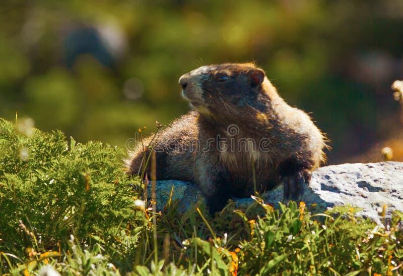 Μαρμότα (caligata Marmota) στοκ εικόνα