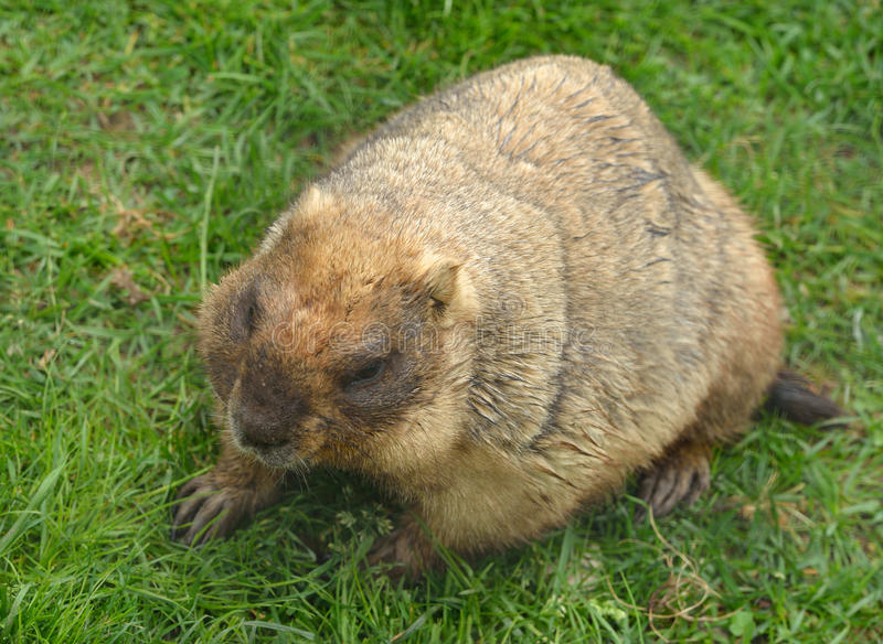 Μαρμότα Marmota Bobak bobak στοκ εικόνες με δικαίωμα ελεύθερης χρήσης