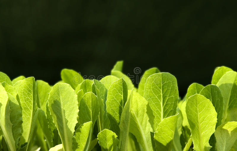 μαρούλι οφθαλμών στοκ φωτογραφία με δικαίωμα ελεύθερης χρήσης
