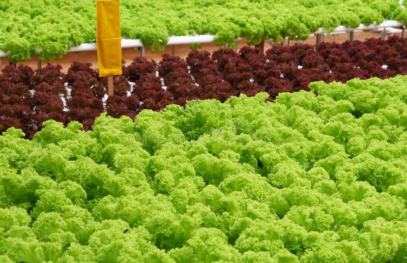 μαρούλι πεδίων στοκ φωτογραφία