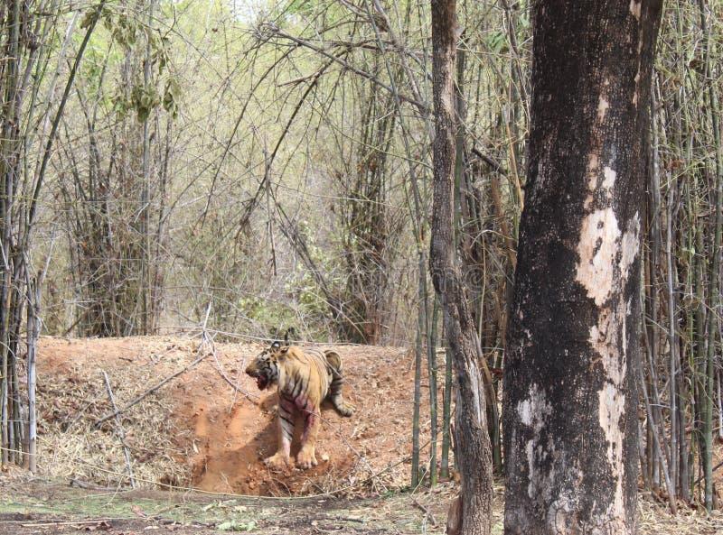 Ματαιωμένη τίγρη στοκ εικόνα με δικαίωμα ελεύθερης χρήσης