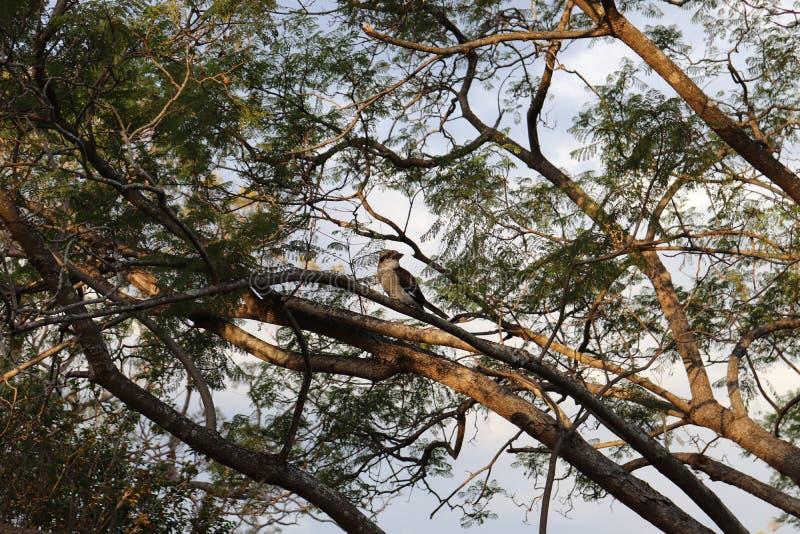 Ματιά Kookaburra στοκ εικόνες