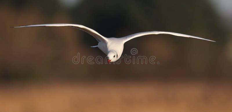 Μαυροκέφαλος γλάρος που πετά πέρα από τα κρεβάτια καλάμων στοκ εικόνες