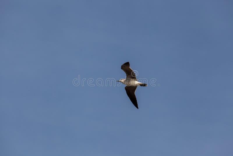 Μαυροκέφαλος γλάρος που πετά στον ουρανό στοκ φωτογραφία