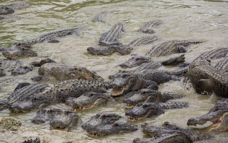 Μαϊάμι, Φλώριδα, ΗΠΑ - σαν αλλιγάτορας αγρόκτημα Everglades στοκ φωτογραφία