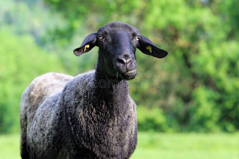 μαύρα αστεία πρόβατα στοκ φωτογραφία