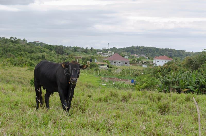 Μαύρα βοοειδή στον τομέα στοκ φωτογραφία με δικαίωμα ελεύθερης χρήσης