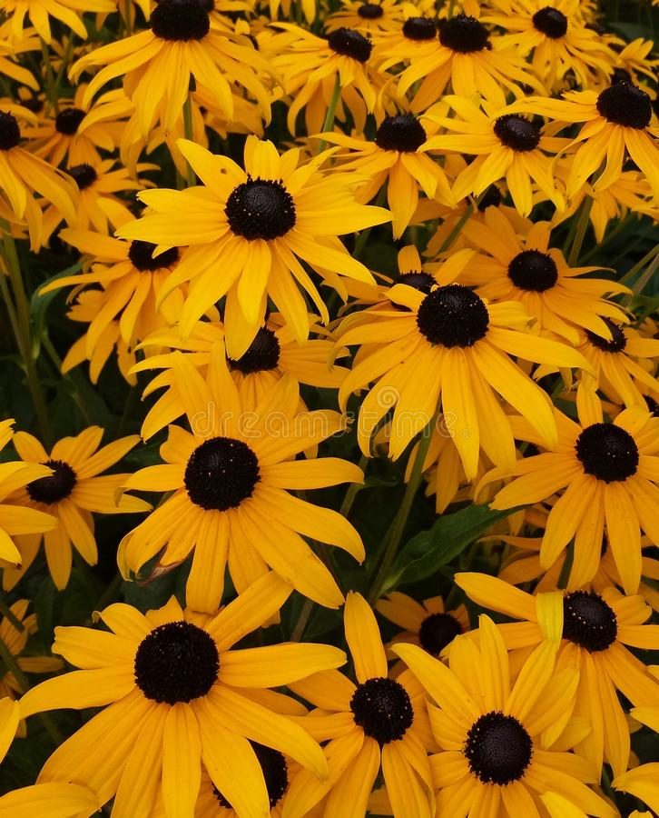 Μαύρα & κίτρινα λουλούδια στοκ φωτογραφία με δικαίωμα ελεύθερης χρήσης