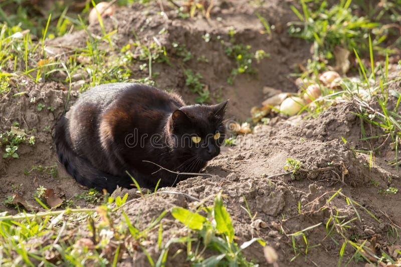 Μαύρα κυνήγια γατών στη φύση στοκ φωτογραφία με δικαίωμα ελεύθερης χρήσης