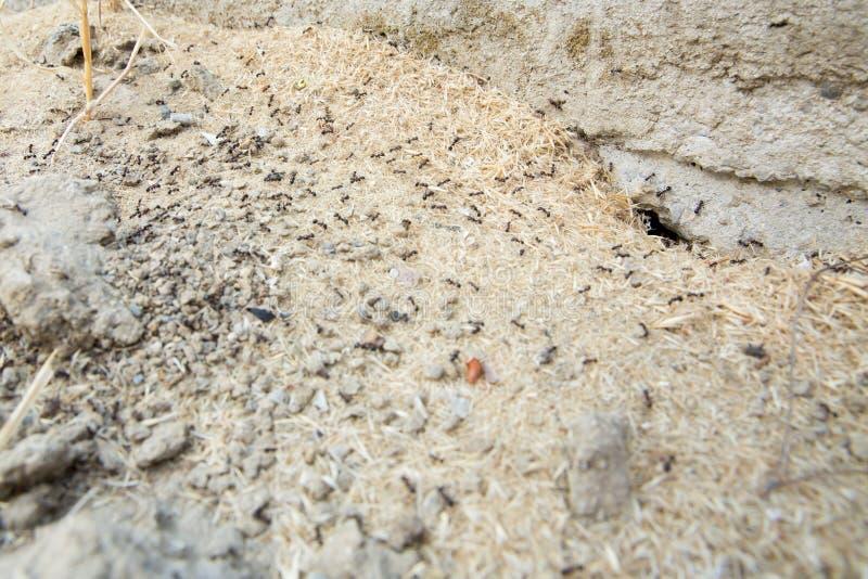 Μαύρα μυρμήγκια στην έρημο κοντά σε μια μυρμηγκοφωλιά Τα μυρμήγκια ζάχαρης συλλέγουν γύρω από την τρύπα της φωλιάς τους χώμα κινη στοκ φωτογραφία