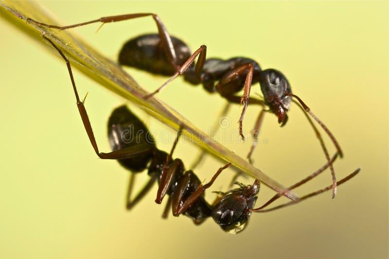 Μαύρα μυρμήγκια στην πράσινη χλόη στοκ φωτογραφία