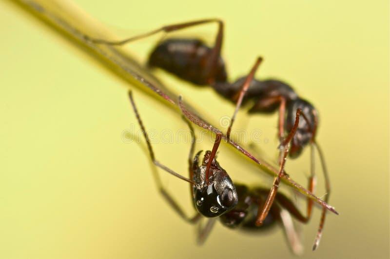 Μαύρα μυρμήγκια στην πράσινη χλόη στοκ φωτογραφίες με δικαίωμα ελεύθερης χρήσης