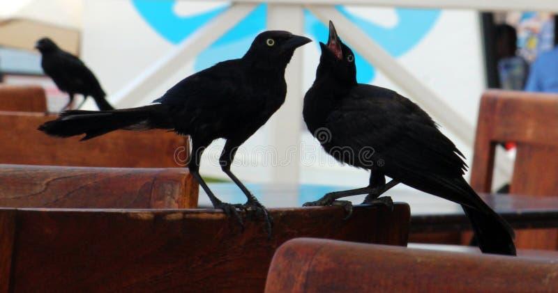 Μαύρα πουλιά κοράκων κορακιών στην Τζαμάικα στοκ φωτογραφία