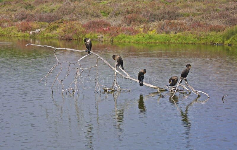 Μαύρα πουλιά κορμοράνων driftwood στοκ εικόνες με δικαίωμα ελεύθερης χρήσης