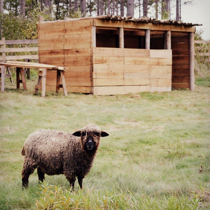 Μαύρα πρόβατα με τη μάνδρα στοκ φωτογραφία