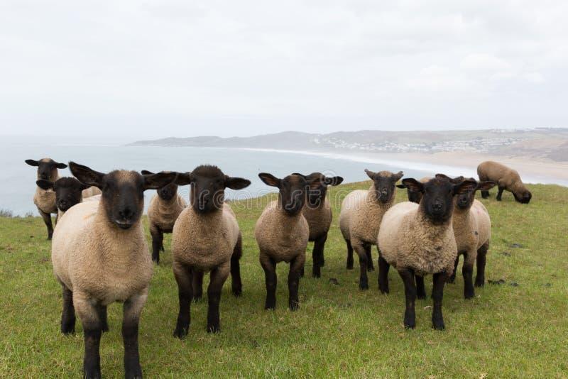 Μαύρα πρόβατα προσώπου σε μια γραμμή στοκ εικόνα
