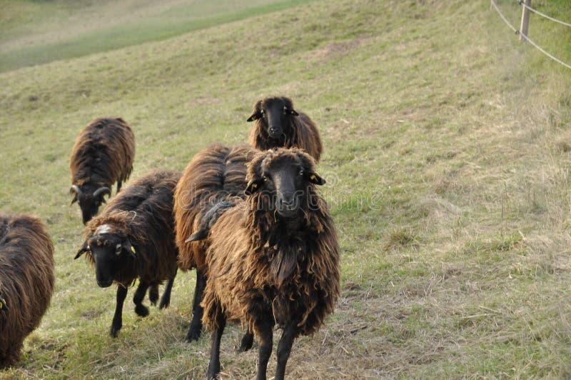 μαύρα πρόβατα στοκ εικόνα με δικαίωμα ελεύθερης χρήσης