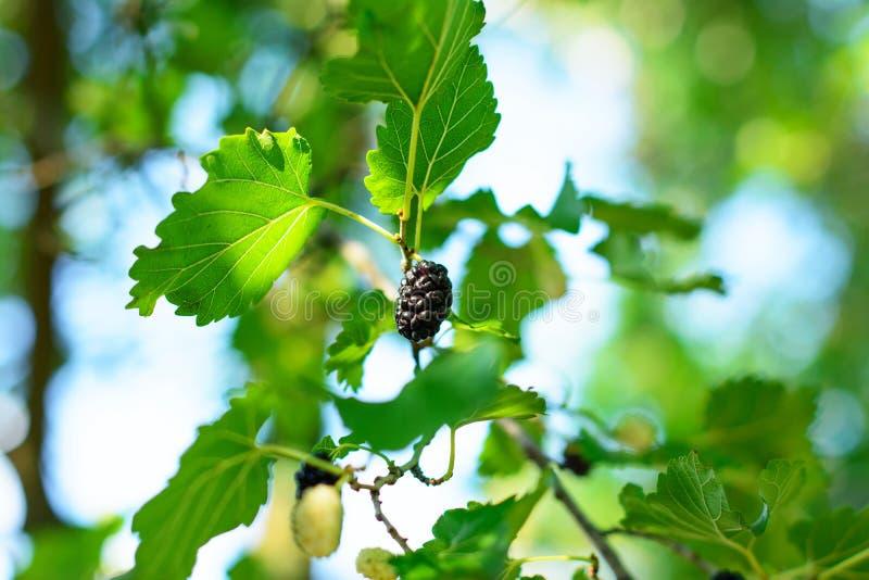 Μαύρα φρούτα μουριών μεταξύ του φυλλώματος plant's, που λούζεται στο θερμό φως του ήλιου στοκ εικόνες
