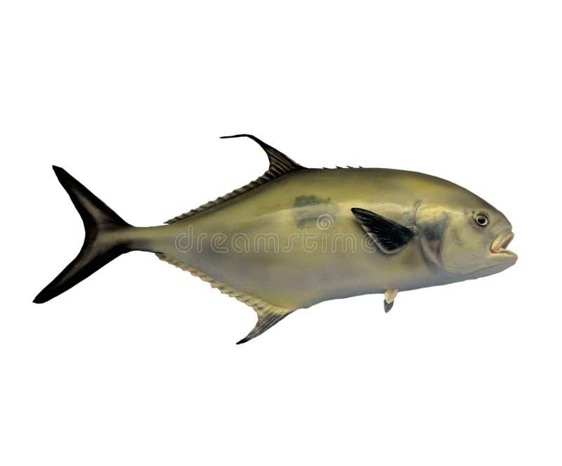 Μαύρα ψάρια αδειών ουρών στοκ εικόνες