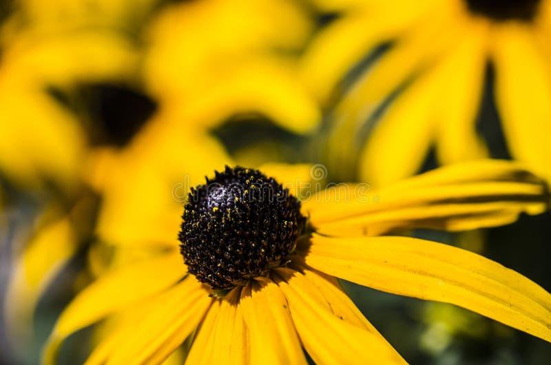 μαύρα eyed susans στοκ εικόνα με δικαίωμα ελεύθερης χρήσης