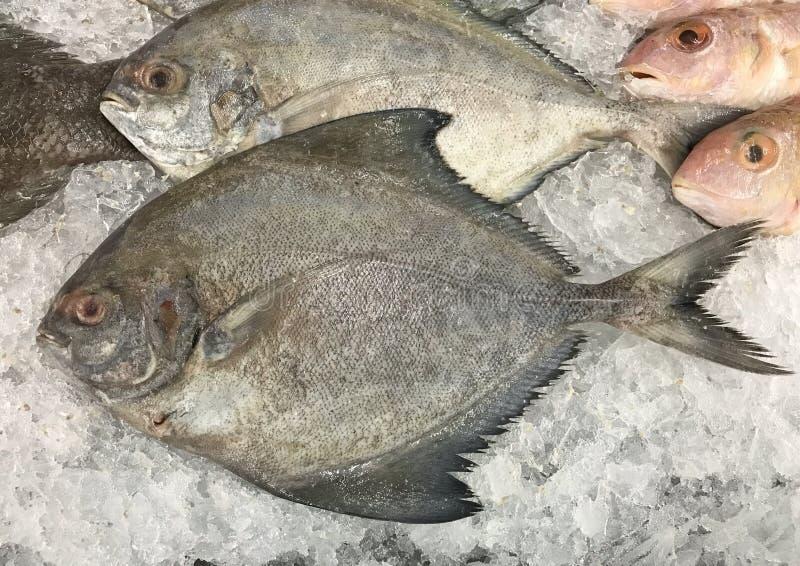 Μαύρα pomfret ψάρια στο στάβλο πάγου στοκ εικόνες με δικαίωμα ελεύθερης χρήσης